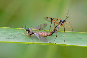 Phantom cranefly pair (Ptychoptera contaminata) mating on a reed leaf by a freshwater pond, Wiltshire, UK, June. - Nick Upton