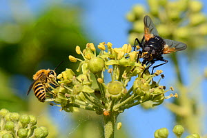 Ivy bee (Colletes hederae) feeding on Ivy flowers (Hedera helix) near a Noon fly (Mesembrina meridiana), Wiltshire garden, UK, September. - Nick Upton