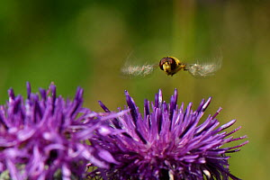 Male Hoverfly (Syrphus ribesii) hovering above a Greater knapweed (Centaurea scabiosa) flower in a chalk grassland meadow, Wiltshire, UK, July. - Nick Upton