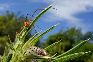 Female Harvestman (Mitopus morio) sunning on Woolly thistle (Cirsium eriophorum) leaves in a chalk grassland meadow, Wiltshire, UK, July.  -  Nick Upton