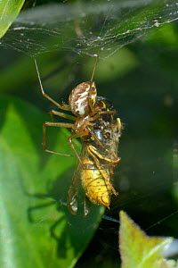 Common hammock-weaver / European hammock spider (Linyphia triangularis) with a Common wasp (Vespula vulgaris) it has caught in its web among ivy leaves and wrapped with silk, Wiltshire garden, UK, Sep...  -  Nick Upton