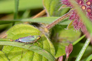 Green leaf-hopper (Cicadella viridis) in marshy grassland, Cornwall, UK, September.  -  Nick Upton
