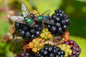 Two Greenbottles / Blowflies (Lucilia sp.) foraging on a ripe Blackberry (Rubus plicatus), GWT Lower Woods reserve, Gloucestershire, UK, July. - Nick Upton