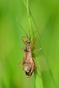 Common damsel bug (Nabis rugosus) hunting for prey on grass blade in a meadow, Cornwall, UK, May. - Nick Upton