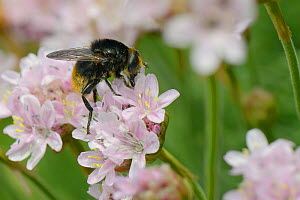 Female Narcissus bulb fly / Large narcissus fly (Merodon equestris ) a mimic of the Red-tailed bumblebee (Bombus lapidarius) nectaring on Sea thrift (Armeria maritima) on a cliff top, Cornwall, UK, Ma...  -  Nick Upton