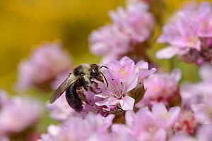 Grey / Ashy mining bee (Andrena cineraria) foraging on a Sea thrift  flowers (Armeria maritima) on a cliff top with Common gorse (Ulex europaea) bushes in the background, Cornwall, UK, May. - Nick Upton