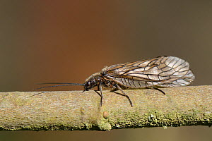 Alder fly (Sialis sp.) resting on a lakeside willow twig, Wiltshire, UK, April.  -  Nick Upton