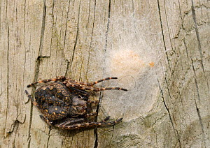 Female Walnut orb-weaver spider (Nuctenea umbratica) guarding her egg sac on an old fence post, Wiltshire, UK, June.  -  Nick Upton