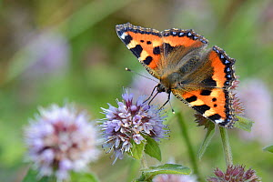 Small tortoiseshell butterfly (Aglais urticae) nectaring on Water mint (Mentha aquatica) in marshy grassland, Cornwall, UK, September.  -  Nick Upton