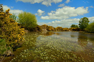 Common gorse bushes (Ulex europaeus) fringing a pond with a mass of flowering Common water-crowfoot (Ranunculus aquatilis), Brecon Beacons National Park, Powys, Wales, UK, May. - Nick Upton
