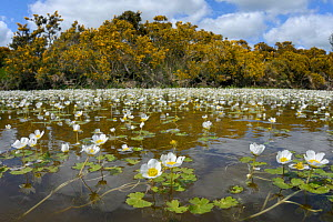 Fisheye lens view of Common water-crowfoot (Ranunculus aquatilis) flowering in a pond fringed by Common gorse bushes (Ulex europaeus), Brecon Beacons National Park, Powys, Wales, UK, May. - Nick Upton