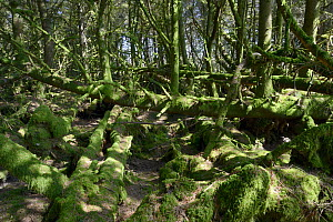 Sitka spuce (Picea sitchensis) plantation interior with many fallen, re-grown, moss-covered trees, Davidstow Woods, near Bodmin Moor, Cornwall, UK, April - Nick Upton