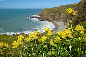 Kidney vetch (Anthyllis vulneraria) flowering on slumping cliff, Widemouth Bay, Cornwall, UK, May.  -  Nick Upton