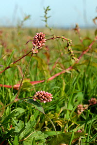 Spotted ladysthumb (Persicaria maculata) flowering in damp grassland, Cornwall, UK, September.  -  Nick Upton