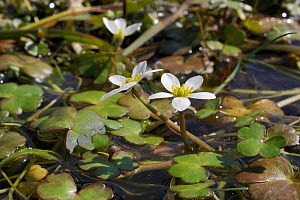Round-leaved crowfoot (Ranunculus omiophyllus) flowering in a boggy pool on the edge of Bodmin Moor, Davidstow Woods, Cornwall, UK, April. - Nick Upton