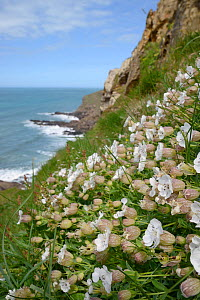 Sea campion (Silene maritima) flowering on slumping cliff, Widemouth Bay, Cornwall, UK, May.  -  Nick Upton