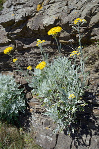 Silver ragwort / Dusty Miller (Jacobaea maritima / Senecio cineraria), a Mediterranean species becoming naturalised on UK coasts, flowering on a cliff face, Widemouth Bay, Cornwall, UK, June. - Nick Upton