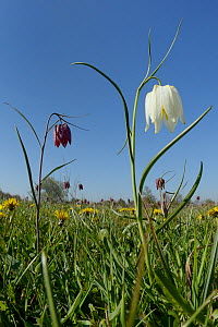 White and purple Snake's head fritillaries (Fritillaria meleagris) and  Dandelions (Taraxacum officinale) flowering in grass meadow, Clattinger Farm, Oaksey, Wiltshire, UK, April.  -  Nick Upton