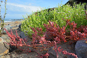Spear-leaved orache (Atriplex prostrata) and Sea rocket (Cakile maritima) clumps flowering high on a sandy beach, near Bude, Cornwall, UK, September. - Nick Upton