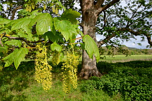 Sycamore tree (Acer pseudoplatanus) flowers, Wiltshire, UK, May.  -  Nick Upton