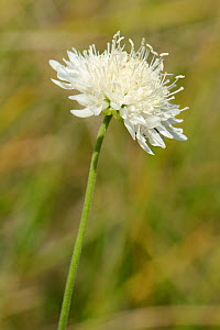 White form of Field scabious (Knautia arvensis) flowering on a chalk grassland slope, Wiltshire, UK, July. - Nick Upton