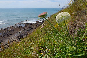 Wild Carrot (Daucus carota) flowering on a cliff, Widemouth Bay, Cornwall, UK, June.  -  Nick Upton