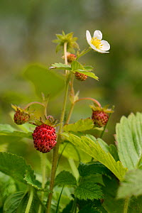 Wild strawberry (Fragaria vesca) with flowers and fruit in a culm grassland meadow, Devon, UK, June. - Nick Upton