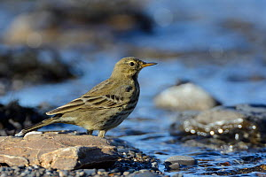 Rock pipit (Anthus petrosus) foraging for invertebrates on a stony beach beside a freshwater stream, Cornwall, UK, September.  -  Nick Upton