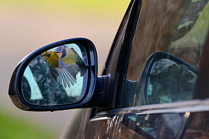 Territorial Blue tit (Parus caeruleus) attacking its reflection in a car wing mirror, Devon, UK, April.  -  Nick Upton