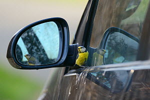 Territorial Blue tit (Parus caeruleus)looking at its reflection in a car wing mirror, Devon, UK, April.  -  Nick Upton