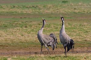 Common / Eurasian crane (Grus grus) pair Monty and Chris released by the Great Crane Project, bugling in unison on partially flooded pastureland to proclaim ownership of their territory, Slimbrigde, G...  -  Nick Upton