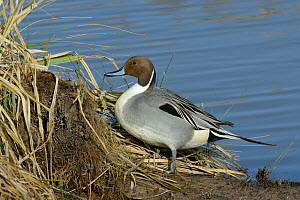 Northern pintail drake (Anas acuta) standing on the margins of flooded pastureland, Gloucestershire, UK, March.  -  Nick Upton