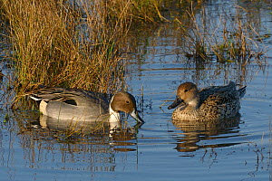 Northern pintail pair (Anas acuta) swimming on flooded pastureland, with male dabbling, Gloucestershire, UK, December.  -  Nick Upton