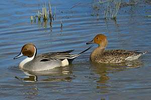 Northern pintail pair (Anas acuta) swimming on flooded pastureland, Gloucestershire, UK, March.  -  Nick Upton