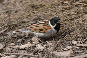 Reed bunting (Emberiza schoeniclus) foraging on the ground at the margins of a marsh, Gloucestershire, UK, April.  -  Nick Upton