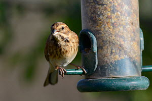 Reed bunting (Emberiza schoeniclus) female taking seeds from a bird feeder, Gloucestershire, UK, December.  -  Nick Upton