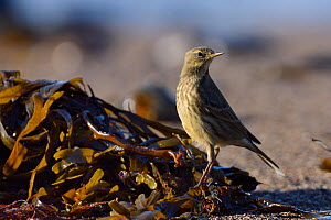 Rock pipit (Anthus petrosus) foraging for invertebrates among seaweed on the strand line as the tide rises at sunset, Cornwall, UK, September.  -  Nick Upton