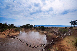 Eastern White-bearded Wildebeest (Connochaetes taurinus) herd crossing the Mara River. Masai Mara National Reserve, Kenya.  -  Anup Shah