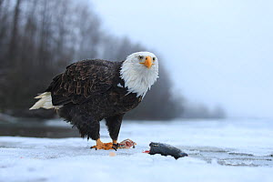 Bald eagle (Haliaeetus leucocephalus) feeding on salmon along the partially frozen Chilkat River. Alaska, USA. November.  -  Gerrit  Vyn