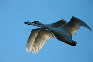 Pair of adult Trumpeter Swans (Cygnus buccinator) in flight. Skagit County, Washington. January. - Gerrit  Vyn
