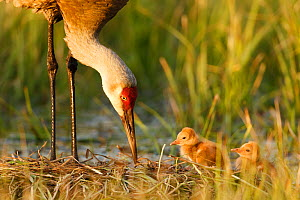 Sandhill crane (Grus canadensis) with two newly hatched chicks on a nest in a flooded pasture.  Sublette County, Wyoming, USA. May. - Gerrit  Vyn