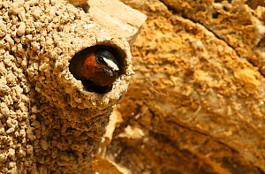 Cliff swallow (Petrochelidon pyrrhonota) at nest. Sublette County, Wyoming, USA. June. - Gerrit  Vyn
