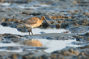 Bar-tailed godwit (Limosa lapponica) foraging on the mudflats, Yalu Estuary, Yalujiang, China. April.  -  Gerrit  Vyn