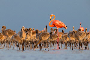 American flamingo (Phoenicopterus ruber) standing in the middle of the creche in a large nesting colony. Rio Lagartos Biosphere Reserve, Mexico. July.  -  Gerrit  Vyn
