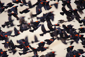 Red-winged blackbirds (Agelaius phoeniceus) in flight. Lower Klamath National Wildlife Refuge, Siskiyou County, California, USA. December.  -  Gerrit  Vyn