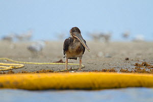 Brown Pelican (Pelecanus occidentalis) covered in oil and very ill, standing on the beach after colony was oiled by the BP Deepwater Horizon oil leak in the Gulf of Mexico. Raccoon Island, Terrebonne...  -  Gerrit  Vyn