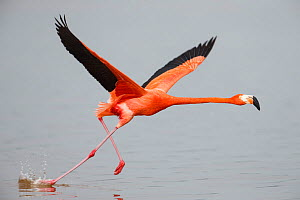 American flamingo (Phoenicopterus ruber) taking off from water, Celestun Biosphere Reserve, Mexico. February.  -  Gerrit  Vyn