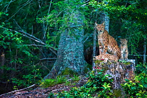 Wild female European lynx (Lynx lynx) on stump with young, Jura mountains in Switzerland. August.  ~Contact us to download file - minimum fees apply. - Laurent Geslin