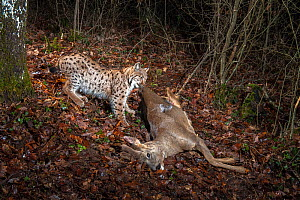 Wild European lynx (Lynx lynx) with Roe deer prey (Capreolus capreolus) at night, Jura Mountains, Switzerland, January. Taken with remote camera. ~Contact us to download file - minimum fees apply. - Laurent Geslin