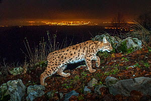 Wild European lynx (Lynx lynx) at night with city lights and sky glow behind, Switzerland. December. Taken with remote camera trap. Contact us to download file - minimum fees apply. - Laurent Geslin
